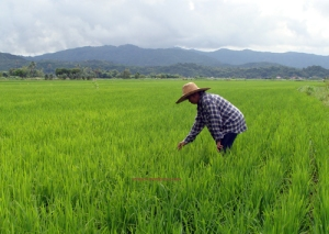 A lady farmer inspects her planted rice in her farm in Narvacan, Ilocos Sur