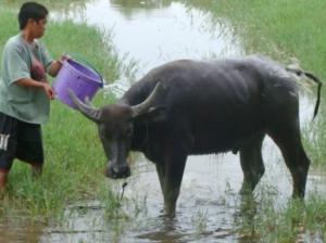 masayang pinaliliguan ng bata ang kaniyang alagang kalabaw