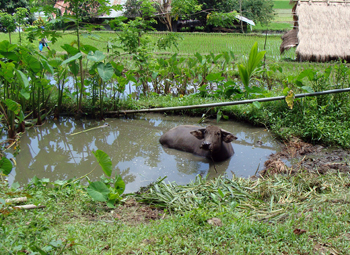 Its planting rice season again... and this carabao rests after a hardwork in the field.  Kadaywanen a ladawan ti kastoy a makita iti Ilocandia.  Naala iti Boguibog, Salcedo, Ilocos Sur