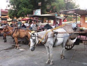 The horse drawn calash line up along the St. Paul Cathedral in Vigan City.